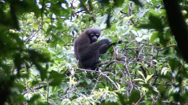 'Star Wars gibbon' is new species