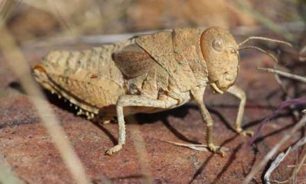 Sound of crickets 'could be lost'