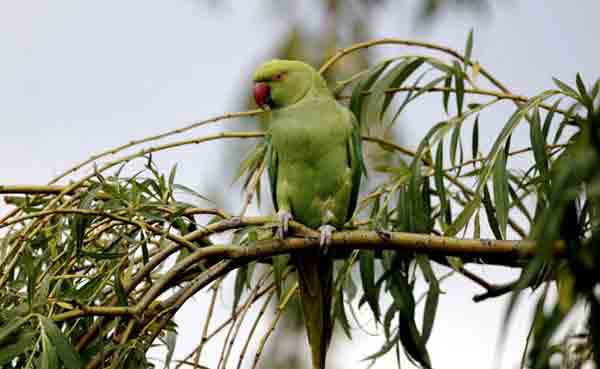 Indian woman offers Rs 25,000 reward for missing parrot!