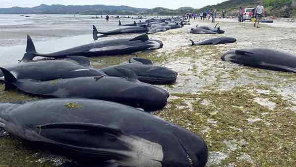 New Zealand whales refloat and return to sea