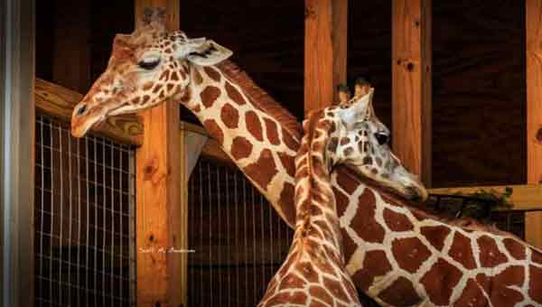 Nosy internet can't wait for April the giraffe to give birth