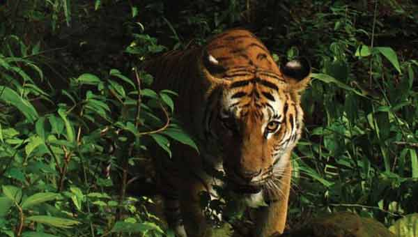 'Miraculous' discovery of rare tigers