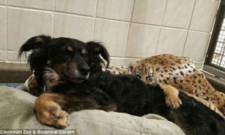 Australian shepherd adopts 3 adorable tiger cubs