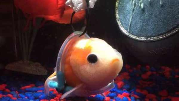 Man makes 'wheelchair' for disabled goldfish