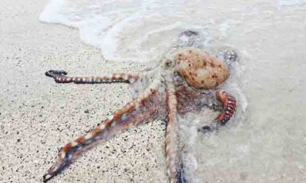 Octopuses crawl out of sea