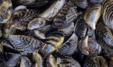 Oysters, mussels produce greenhouse gases!