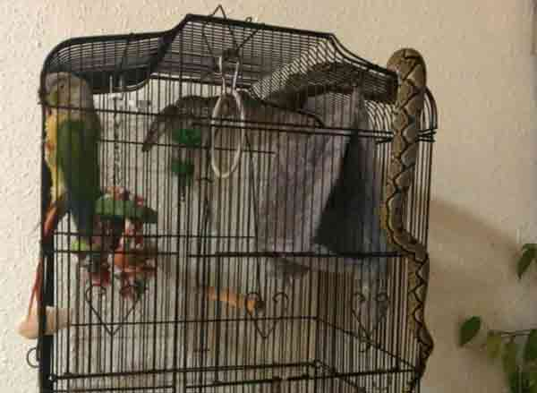 Man finds snake wrapped around bird cage