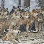 Wolves are better at cooperating than dogs
