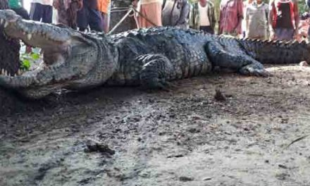 India man wakes up and finds crocodile as guest