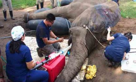 Colombian elephant gets tusk-saving surgery
