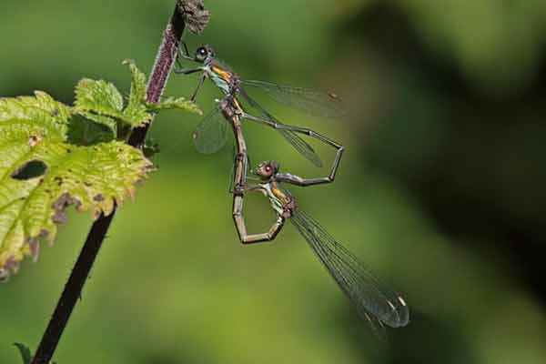Migrant dragonflies spotted in the UK
