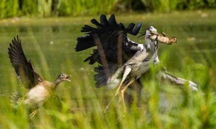 Terrified duckling is plucked from its nest into a heron's beak