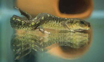 Chester Zoo successfully breeds rare Catalan newt