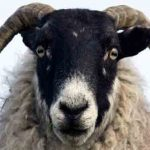 Sheep 'can recognise human faces