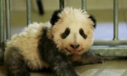 Giant Panda cub takes his first steps