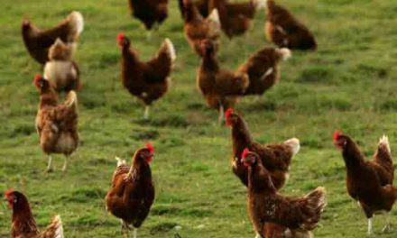 Chief veterinarian of UK defends support of larger hen cages